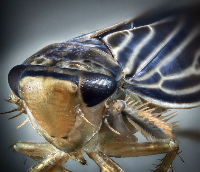 Leafhopper 13 jul 18