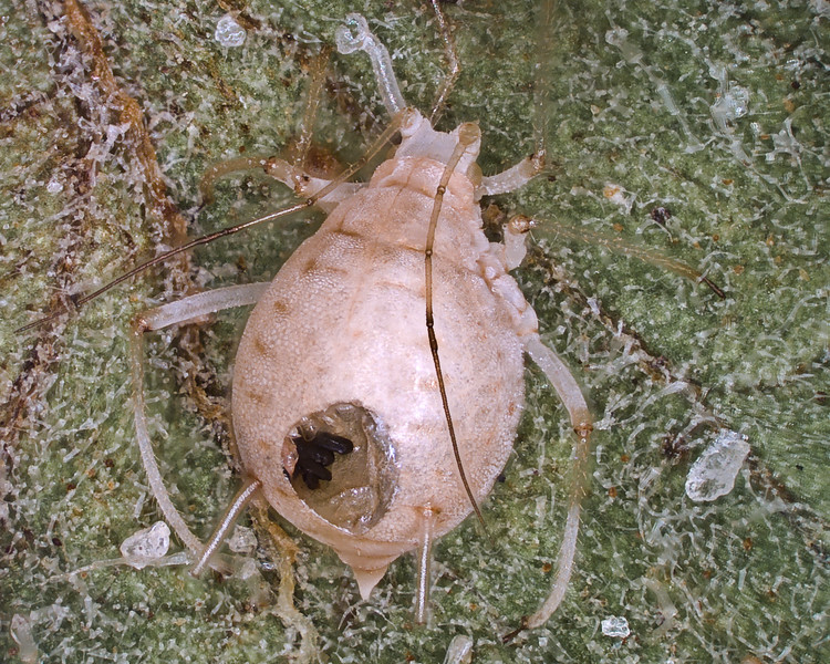 Parasitized aphid showing the hole used by the parasitoid to exit the host.  Dark spots inside the aphid shell may be excrement deposited by the parasitoid.  check