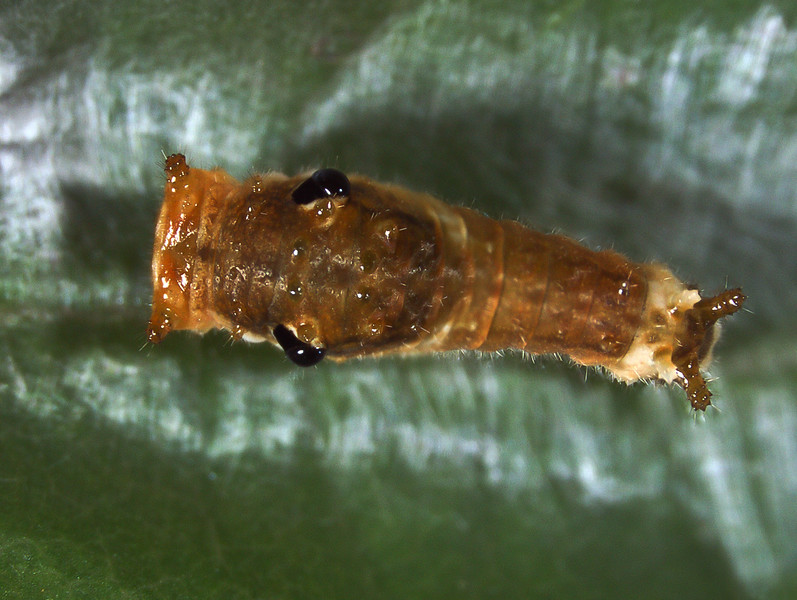 Small larva of the spicebush swallowtail showing the layers of silk that cause the leaf to fold over the larva and protect it from parasitoids and predators.  check
