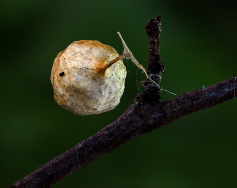 Spider egg sac?