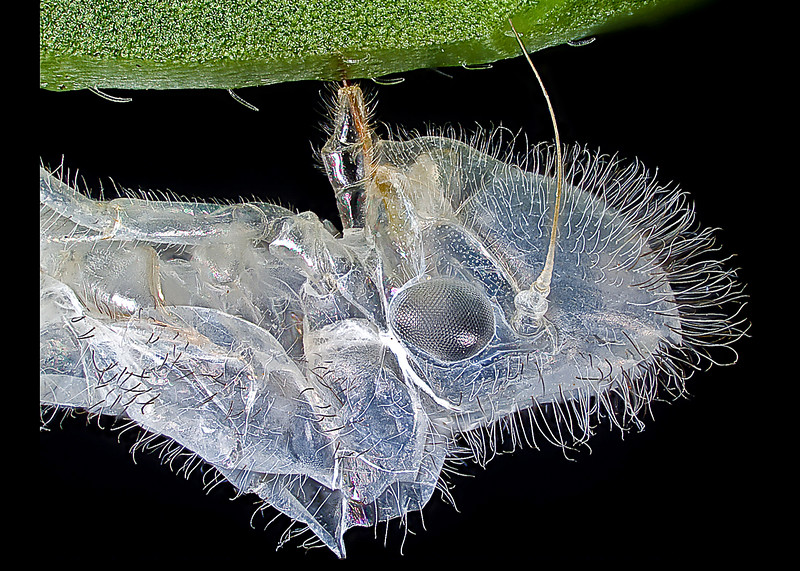 Note the piercing mouthparts embedded into the leaf's main vein, which anchors the insect and allows the next stage to more easily shed it's old skin
