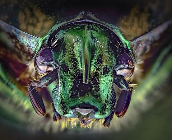Green June Beetle 1