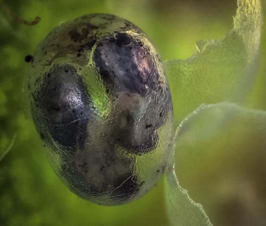 Catalpa hornworm egg