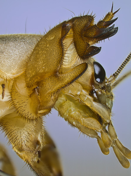 Ventro-lateral view of a mole cricket showing the head with various palps and the massive front legs for digging. check