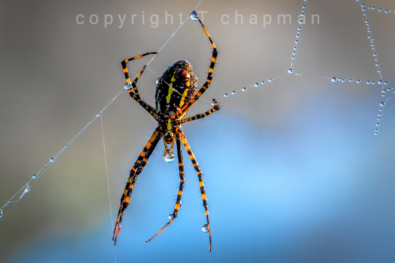 Spider Dew