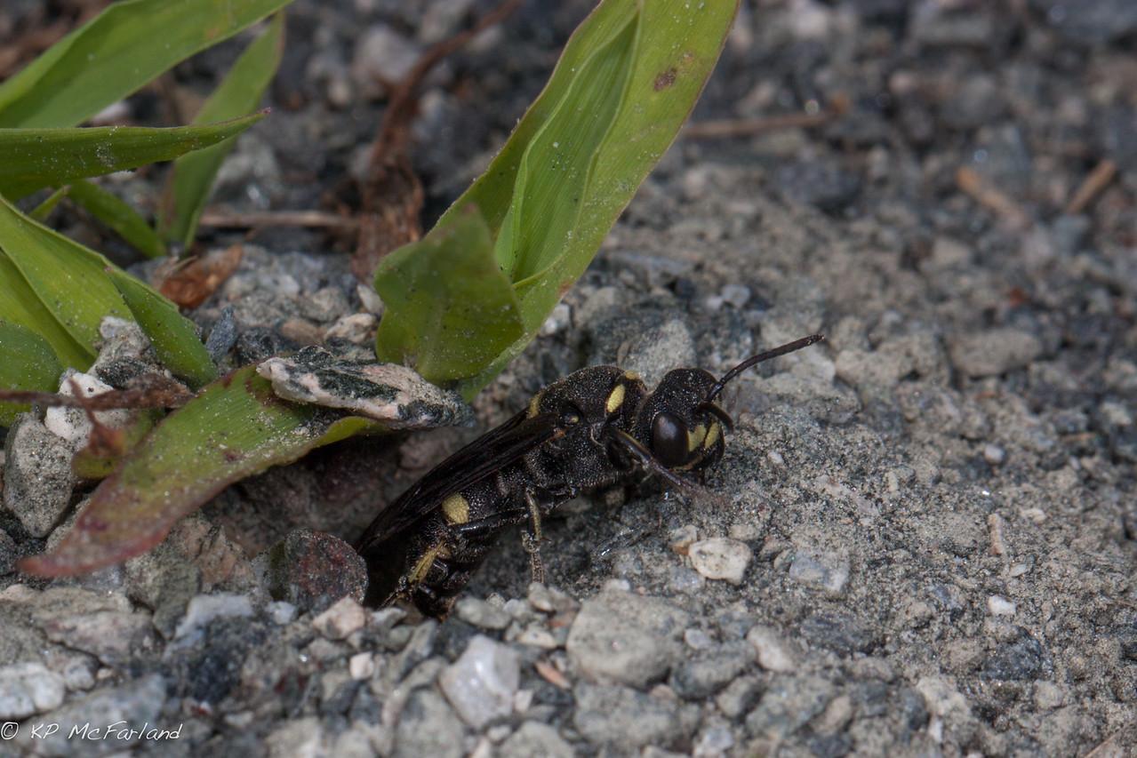 Cerceris fumipennis