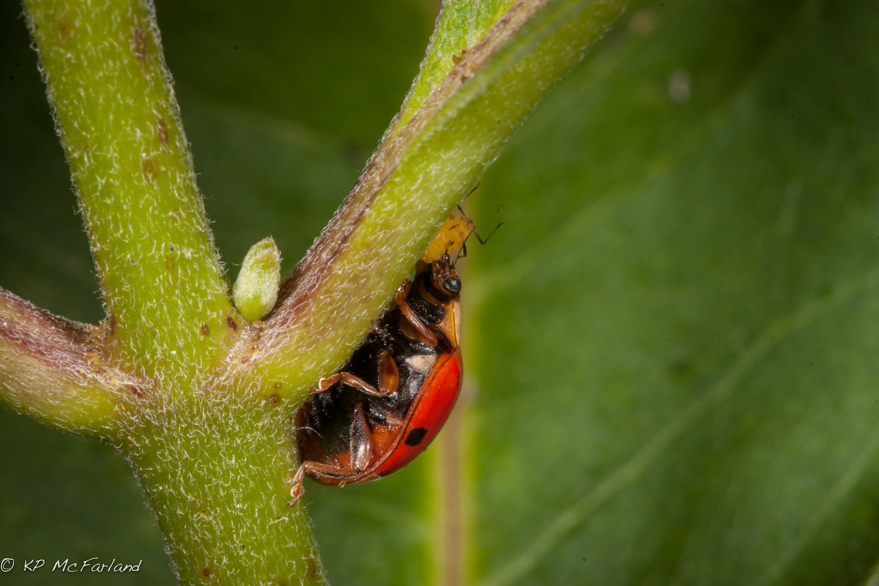 Multicolored Asian Lady Beetle (Harmonia axyridis) feeding on Milkweed Aphid (Aphis nerii)