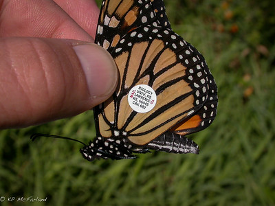 Monarch tagged