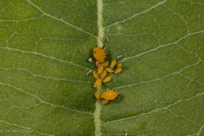 Milkweed Aphid (Aphis nerii)