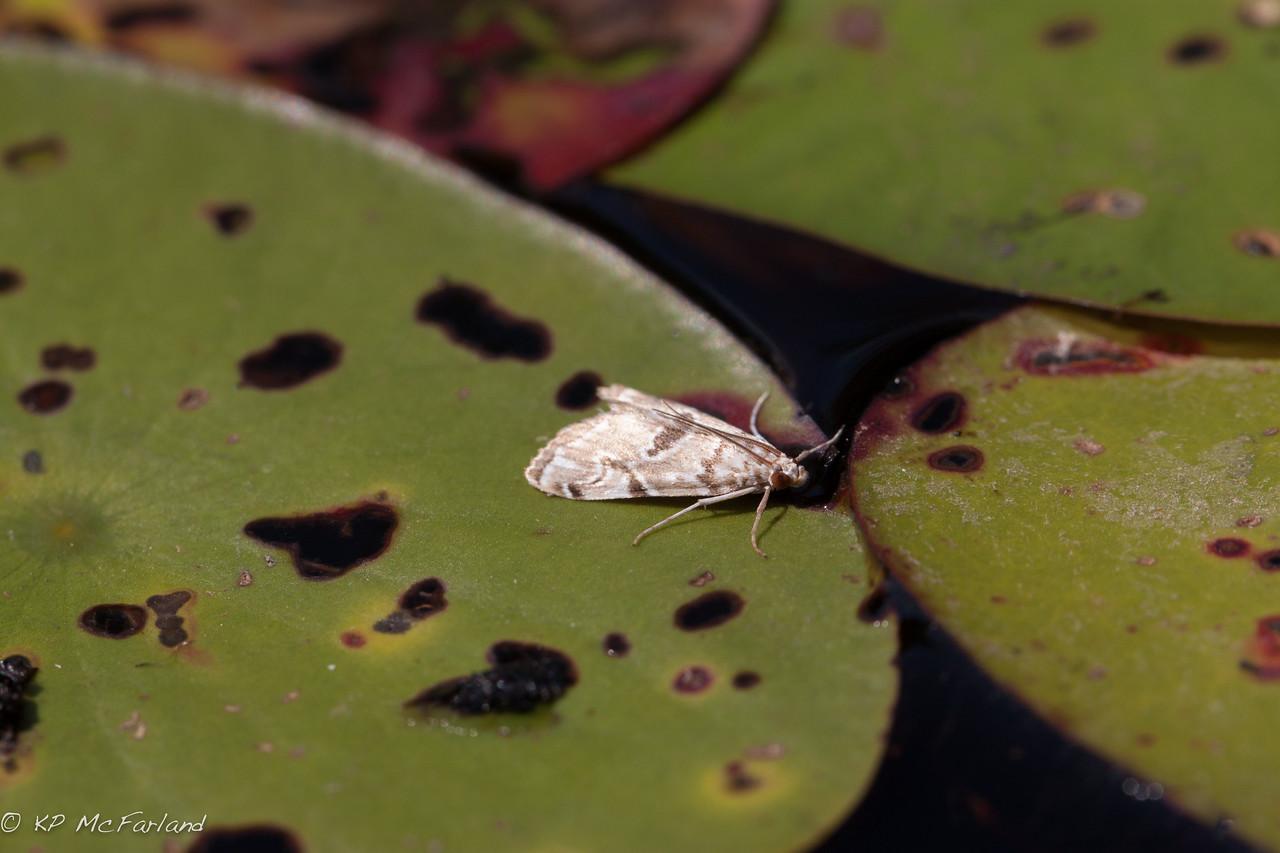 Waterlily Borer Moth (Elophila gyralis –