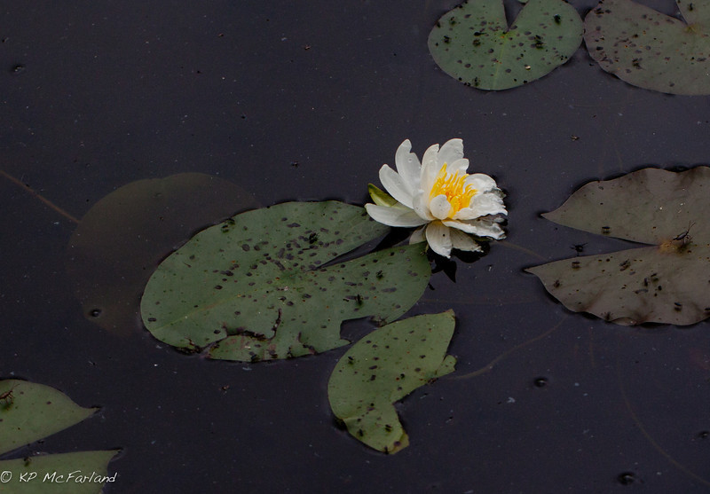Fragrant Water-lily (Sweet Water-lily) Nymphaea odorata