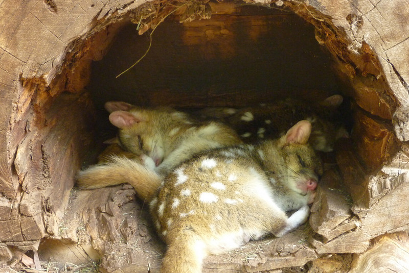 sleeping quolls