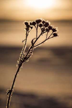 Silhouette of a frosty plant in the winter