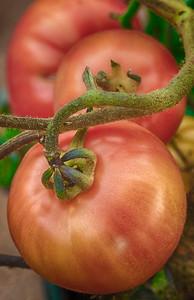 Classy Tomato
