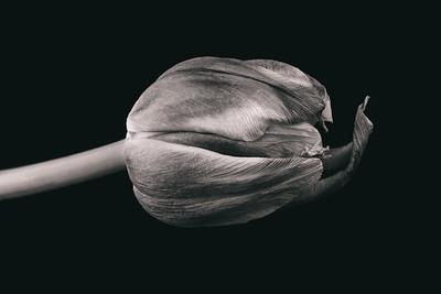 tulip nr x