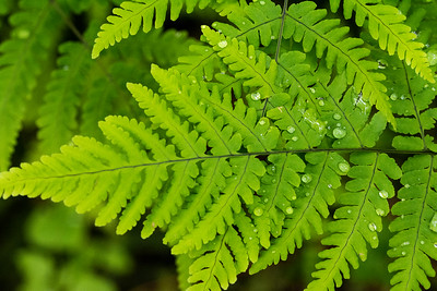 A fern glistens with morning dew in the lowland forests of Mount Rainier National Park