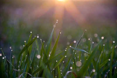 New growth prairie grass shines with dew in the morning sun