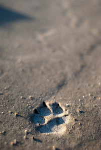 A coyote track leads into the water in the Sandhills region of Nebraska