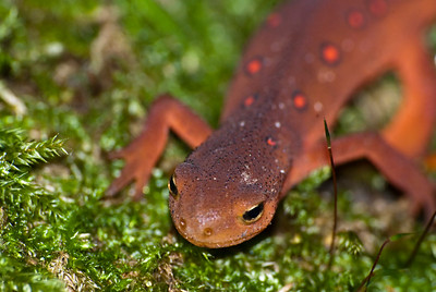 An eft crawls amongst the moss in Lick Brook in upstate New York. Efts are juvenile versions of newts.