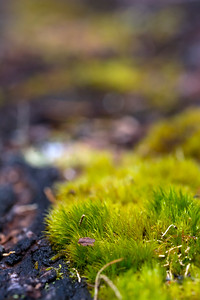 Moss carpets a dead log in the lowland forests of Mount Rainier National Park