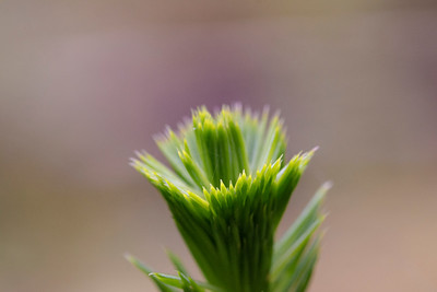 A spruce tip grows from the top of a new growth tree in the lowland forests of Mount Rainier National Park