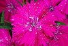 """DYNAMIC DIANTHUS"" Image #2731<br /> Niagara County, N.Y.<br /> <br /> (BetterPhoto's *Editor's Pick Award*)"
