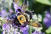 """BUSY BEE"" Image #1119<br /> Niagara County, N.Y."
