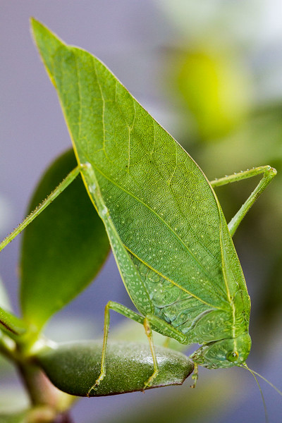 Katydid on Jade