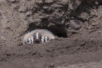A Very Sleepy Baby Badger!