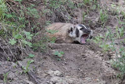 Sleepy American Badger Yawning At The Entrance Of Its Burrow.