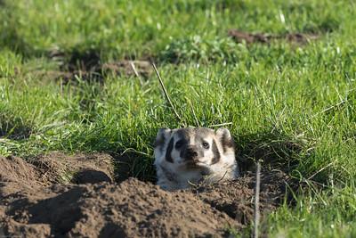 Badger playing peek-a-boo!