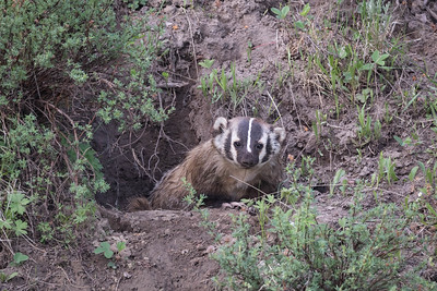 A Curious Young Badgers Observes Us From The Safety Of Its Badger Hole