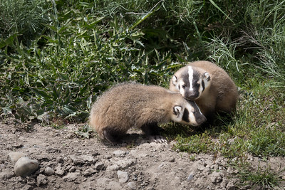 Two Baby Badgers Nuzzeling One Another.