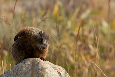 Every time we look at this photograph of a Yellow-bellied Marmot enjoying a good scratch we find ourselves smiling.