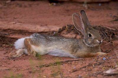 Cottontail rabbit resting in the shade, Colorado National Monument.