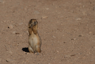 A Utah Prairie Dog seems to relish the morning sunshine in Bryce Canyon National Park.