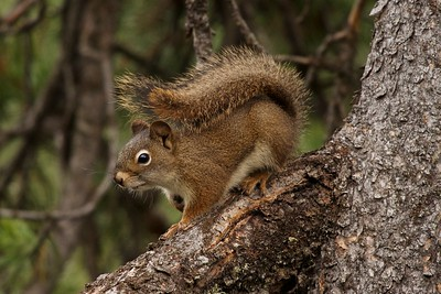 A Red-squirrel watched us cautiously and we photographed and hiked in the south western corner of Yellowstone National Park.