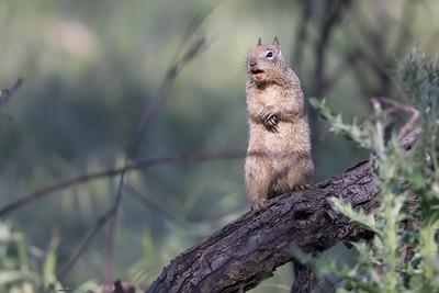 California ground squirrek sounding the predator alarm.