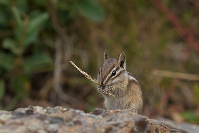 This Least Chipmunk was no doubt storing food up for the winter in the Grand Tetons National Park.