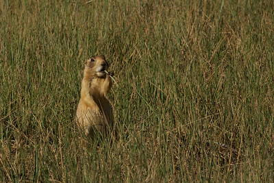"""Chewing' on a piece of grass"" this Utah prairie dog in Bryce Canyon National Park, Utah reminded us of an old America song.."