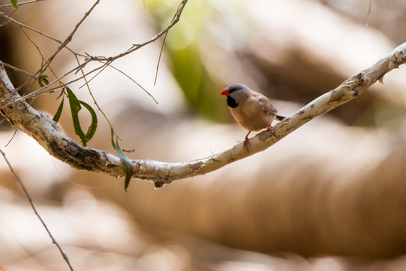 Long-tailed Finch (Poephila acuticauda)