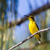 Olive-backed Sunbird (Cinnyris jugularis) -female