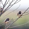 Zebra Finch (Taeniopygia guttata)