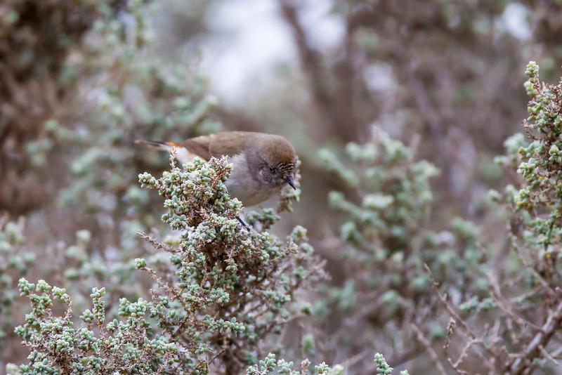 Chestnut-rumped Thornbill (Acanthiza uropygialis)