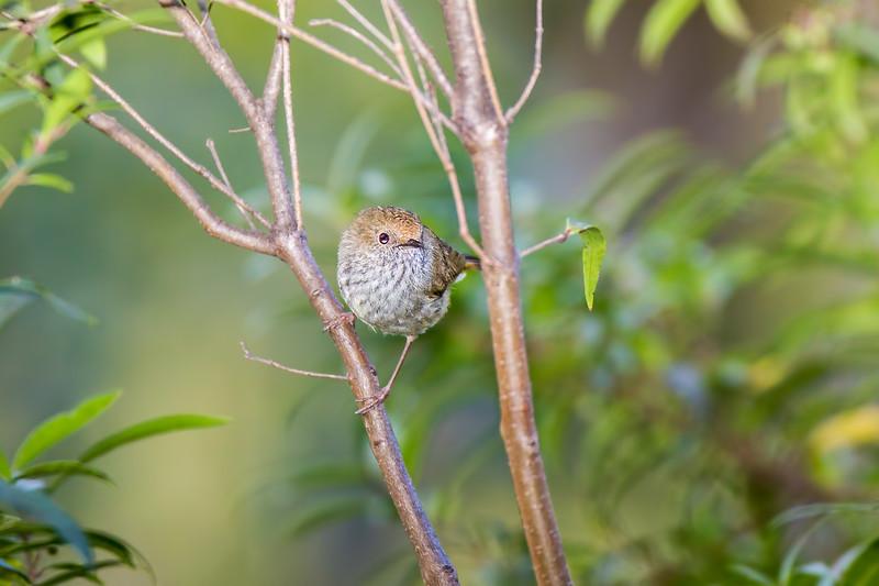 Brown Thornbill (Acanthiza pusilla)
