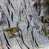 Yellow-rumped Thornbill (Acanthiza chrysorroa)