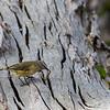 Yellow-rumped Thornbill (Acanthiza chrysorroa)