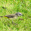 Yellow Rumped Thornbill (Acanthiza chrysorrhoa)