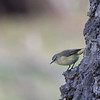 Yellow Rumped Thornbill (Acanthiza chrysorrhoa)