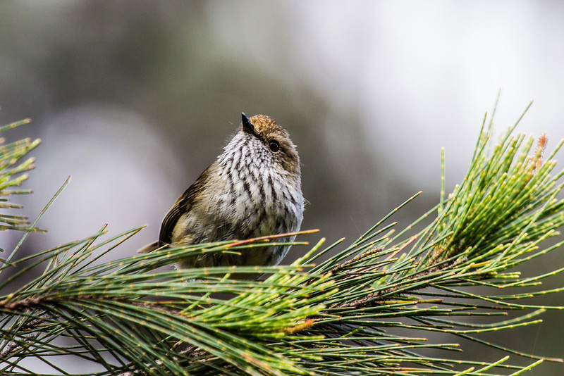 Brown Thornbill (Acanthiza pusilla)